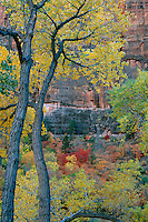 Fremont cottonwoods and bigtooth maples<br /> Zion Canyon<br /> Zion National Park<br /> Colorado Plateau,  Utah