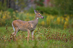 September white-tailed buck in northern Wisconsin.