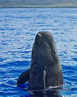 Short-finned pilot whale spyhopping, Globicephala macrorhynchus, off Kona, Big Island, Hawaii, Pacific Ocean