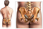 This stock medical exhibit features a posterior view of the male torso and the anatomy the pelvic bones and hips. Specifically seen are the bones of the lumbosacral spine, iliac crests, hip joints and proximal femoral heads. Labels have intentionally been left off of this exhibit for multi purpose use.