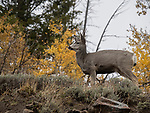 A young buck stands on top of a hill in Yellowstone.