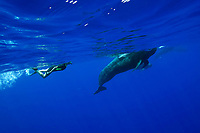 short-finned pilot whales, Globicephala macrorhynchus, with snorkeler, Kona Coast, Big Island, Hawaii, USA, Pacific Ocean