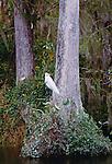 Great egret, bald cypress, Everglades National Park, Florida
