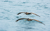 Two Brown Pelicans, Pelecanus occidentalis, fly over the Caribbean Sea near Gibara, Cuba