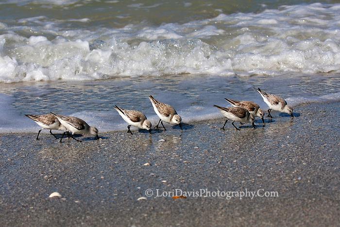 #Q4 Sanderlings In Line