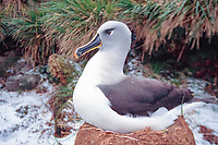 gray-headed albatross, Thalassarche chrysostoma, nesting, El Sehul, South Georgia Island, UK, Atlantic Ocean