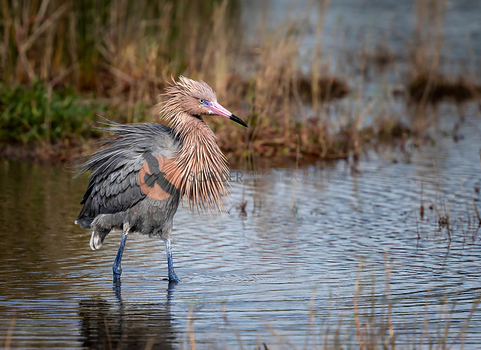 Reddish Egret in breeding colors, standing in water with ruffled feathers