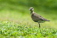 A Pacific golden plover or kolea on a green lawn on O'ahu.
