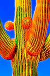 Saguaro #50