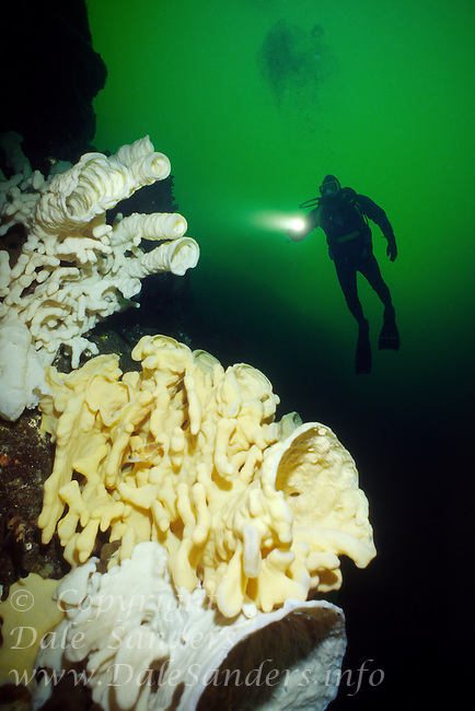 Diver explores a wall of giant Cloud Sponges (Aphrocallistes vastus) underwater in Agamemnon Channel on British Columbia, Canada's Sunshine Coast.