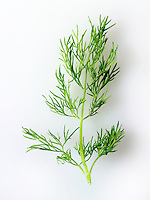 Fresh Fennel leaves