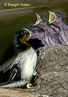 BA08-003z  Barn Swallow - parent feeding young - Hirundo rustica