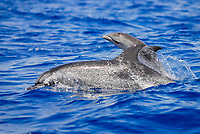 Stenella frontalis, Spotted Dolphin, Surfacing mother and calf, Azores-Portugal