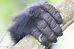 Hand Of Mountain Gorilla