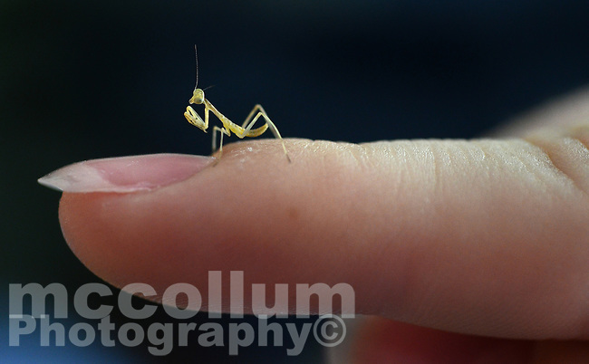 Michael McCollum.5/21/11.A Praying Mantis Nymph on the finger of Katie McCollum .