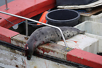 Small Inuit Seal hunter`s boat with Harp seal ( Pagophilus groenlandicus ) on back deck. Icefjord world heritage site  from  Jakobshavn Glacier, Ilulissat, Disco Bay, Greenland