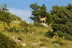 Une centaine de mouflons sauvages (introduit dans les années 1960 par le président yougoslave Tito) vivent dans les karst de l'île de Dugi otok.Hundred of wild goats introduced in the 1960 by former yougoslav president Tito live on the mountains of Dugi Otok islands.