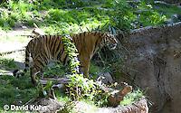 0328-1012  Malayan Tiger, Panthera tigris malayensis  © David Kuhn/Dwight Kuhn Photography.