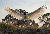 The mighty Jabiru stork is one of the more imposing birds in the Pantanal.