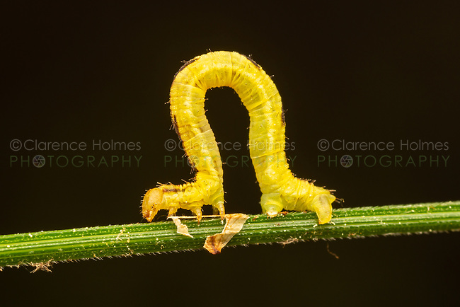 Geometrid Moth Caterpillar (Eupithecia sp.) on a Bur Reed Sedge stem.