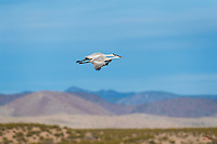 Two Sandhill Cranes (Grus canadensis) soar in extremely tight formation over a pond in Bosque del Apache National Wildlife Refuge, New Mexico.  No idea why they were flying so close to each other - most of the sky was open and available!