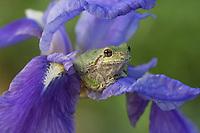 Grey Treefrog on iris