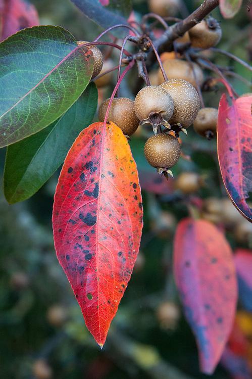 Himalayan pear (Pyrus pashia), early November.