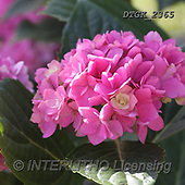 Gisela, FLOWERS, BLUMEN, FLORES, photos+++++,DTGK2365,#F#, EVERYDAY