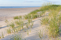 Avon, Outer Banks, North Carolina.  Young Sea Oats and Grasses in Early Summer.