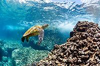 green sea turtle, Chelonia mydas, endangered species, Shark Cove, Pupukea-Waimea Marine Life Conservation District, Oahu, Hawaii, USA, Pacific Ocean