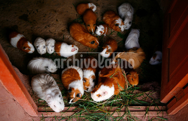 Guinea pigs eat grass at a tourist stop near Raqchi, Peru, on May 13, 2008. Guinea pig is a major part of the diet in Peru.