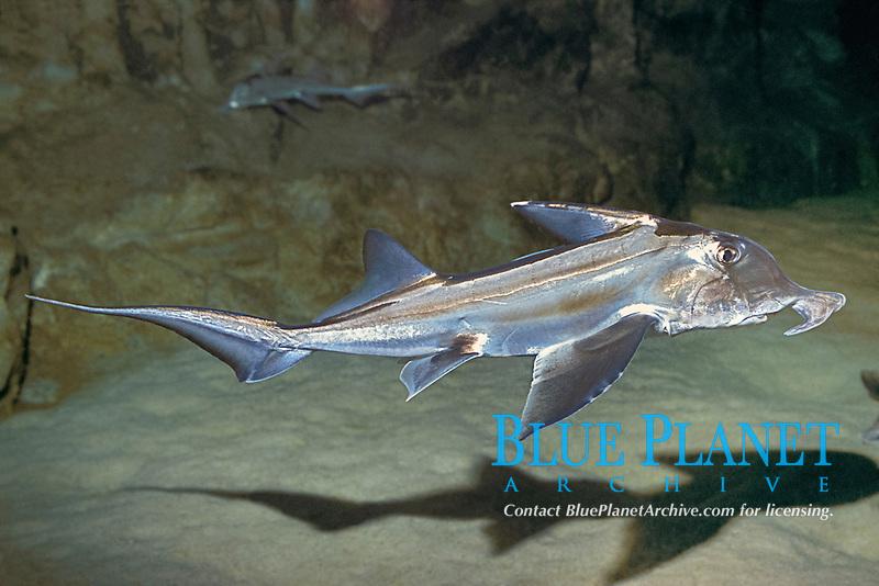 Cape elephantfish, Saint Joseph shark or St. Joseph shark, Callorhinchus capensis (c,dm) a chimaera or ghost shark, endemic to Namibia and South Africa