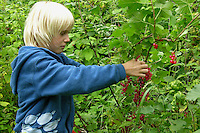 Junge, Kind erntet reife Johannisbeeren, Rote Johannisbeere, Rote Garten-Johannisbeere, Johannis-Beere, Reife Früchte, Kulturform, Ribes rubrum var. domesticum, Red Currant