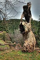 An old tree trunk near Elati in Arcadia, Peloponnese, Greece.