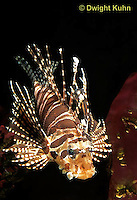 TP03-020z  Dwarfed Lionfish - Zebra Lionfish - Dendrochirus zebra