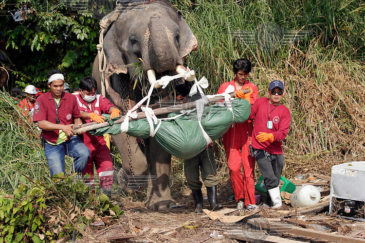 Thai search and rescue teams use elephants to clear rubble, find and remove bodies from areas where machines cannot reach, following the tsunami which struck South Asia on 26/12/2004.An underwater earthquake measuring 9 on the Richter scale triggered a series of tidal waves which caused devastation when they struck dry land. 12 countries were affected by the tsunami, with a combined death toll of over 150,000. © Fredrik Naumann