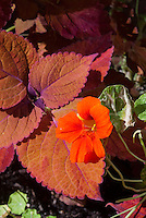 Nasturtiums Tropaeoleum Alaska  with variegated green and white foliage and in orange flowers, and Coleus Solenostemon Sedona, annual plants, annual foliage plant with annual flowers . Lobed, rounded leaves with a unique rusty orange color; named after the Sedona Mountains.
