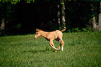Registered quarter horse foal running in spring paddock