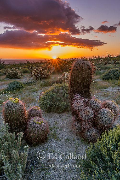 Sunrise, Barrel Cactus, Anza-Borrego Desert State Park, California