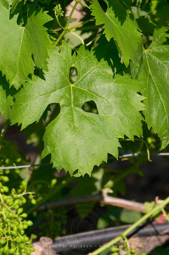 Irrigated vines. Vine leaf. Domaine Gerovassiliou, Epanomi, Macedonia, Greece.