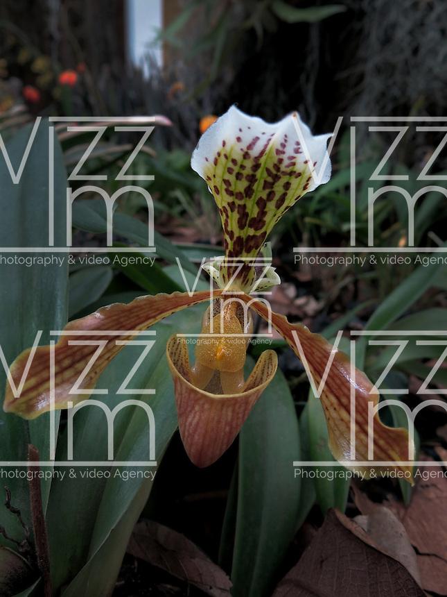 BOGOTÁ-COLOMBIA-15-01-20113. Orquídea Paphiopedilum Villosum Stein. Orchid Paphiopedilum Villosum Stein.  (Photo:VizzorImage)