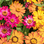 Livingstone Daisies adorn garden at Point Defiance Park, Tacoma, Washington.