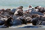 Gray Seals hauled out on the Chatham Bars, Cape Cod.  Close-up of several seals facing camera.