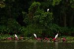 Great Egret (Ardea alba) trio and Intermediate Egret (Ardea intermedia) in wetland during rainfall, Diyasaru Park, Colombo, Sri Lanka