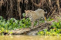 Jaguar, Panthera onca, Pantanal, Mato Grosso, Brazil