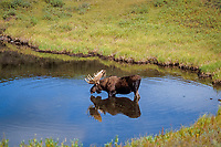moose, Alces alces, bull feeding on aquatic plants in a kettle pond, Denali National Park, interior of, Alaska, USA