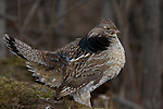 Ruffed grouse (Bonasa umbellus) resting on his drumming log