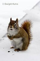 MA07-501z  Red Squirrel, in winter, Tamiasciurus hudsonicus