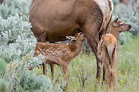 Young Rocky Mountain Elk Calves (Cervus canadensis nelsoni)--one nursing.  Northern Rockies, June.