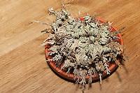 Unechte Rose von Jericho, Auferstehender Moosfarn, Auferstehungspflanze, eine poikilohydre, poikilohydrische Pflanze, wechselfeuchte Pflanze, die bei Trockenheit vertrocknet und sobald es feucht wird ergrünt, Schritt 2: angefeuchtete Pflanze entrollt sich, Selaginella lepidophylla, Resurrection Plant, Rose-of-Jericho, Moosfarngewächse, Selaginellaceae